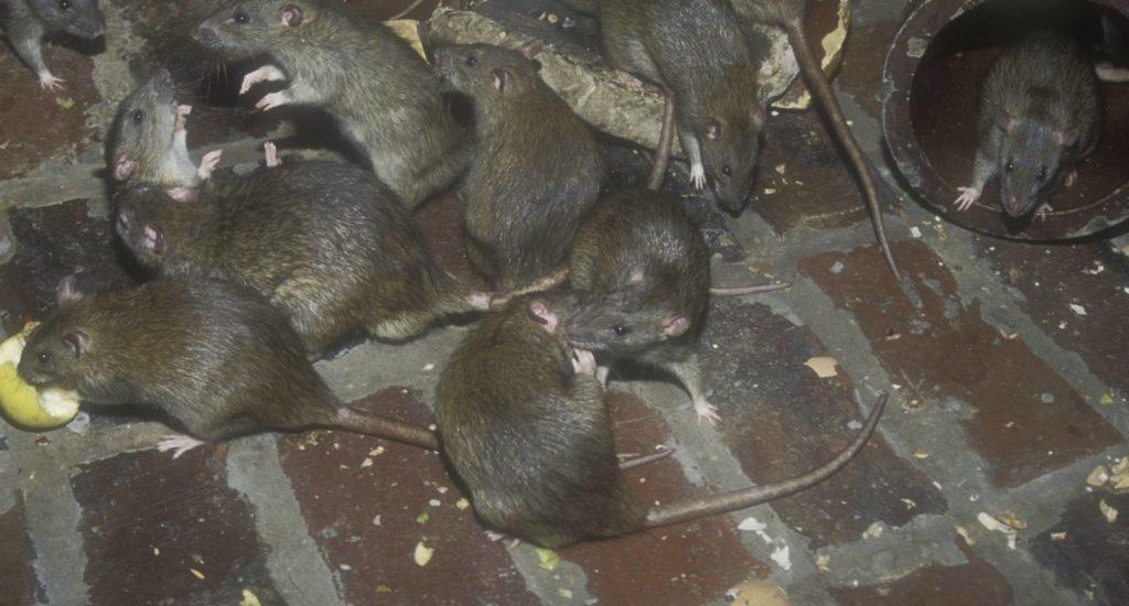уничтожение крыс в Муроме